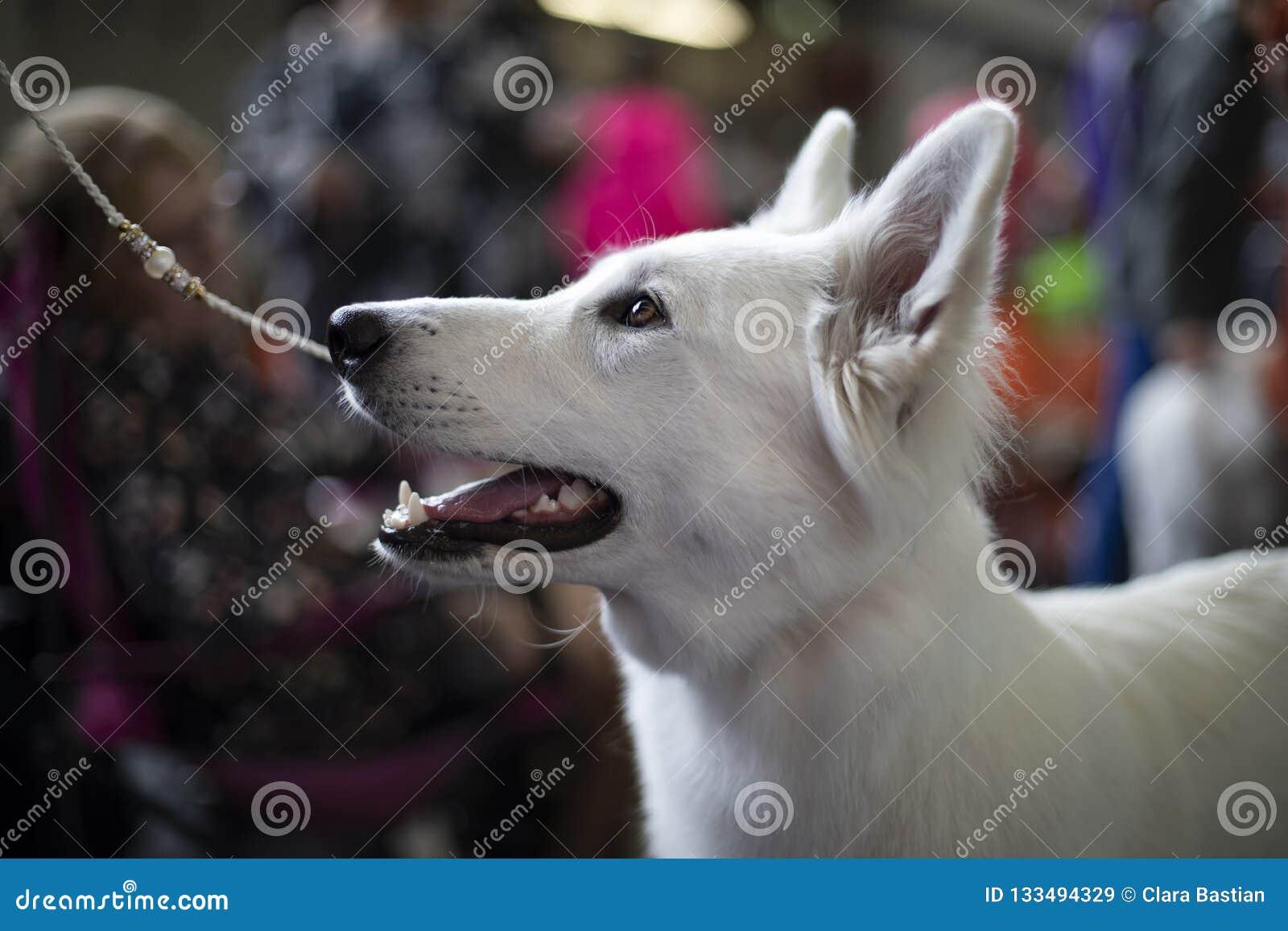 White shepherd breed on a leash.