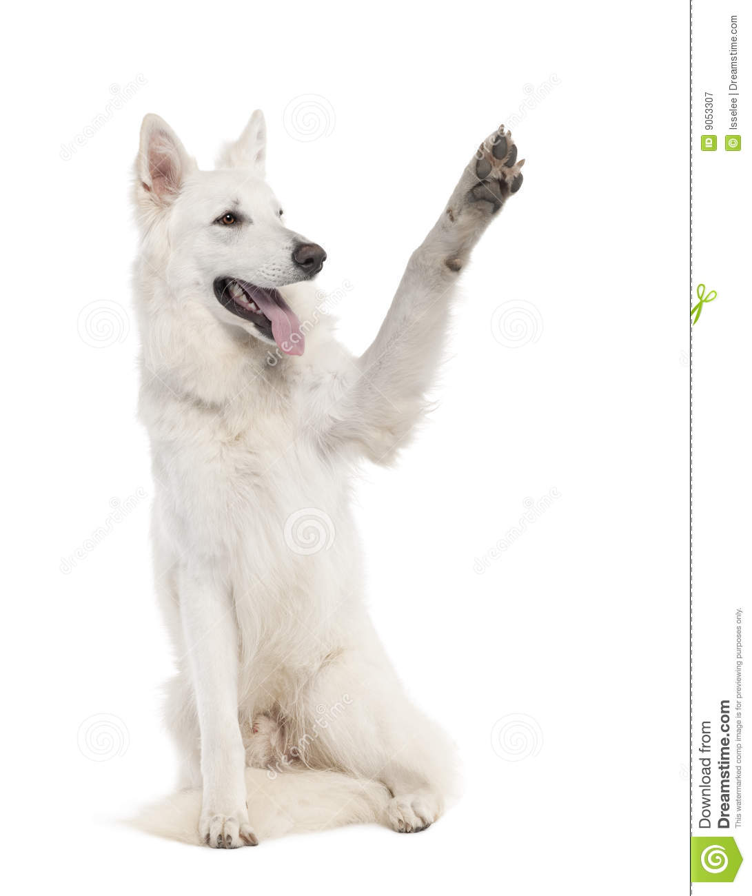 White shepherd dog 1 year old in front of a white background