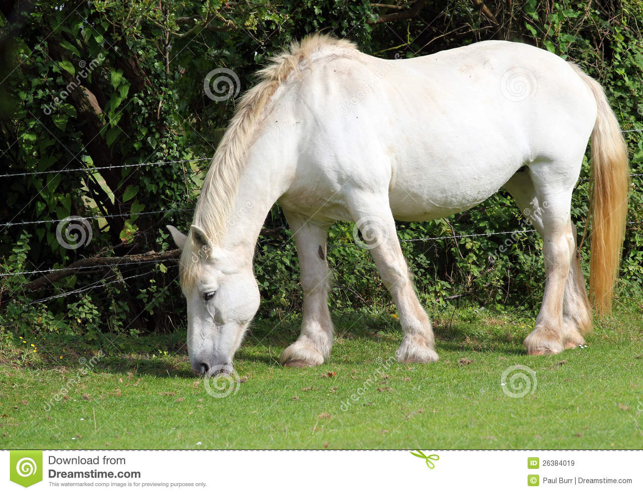 920 Shire Horse Photos Free Royalty Free Stock Photos From Dreamstime