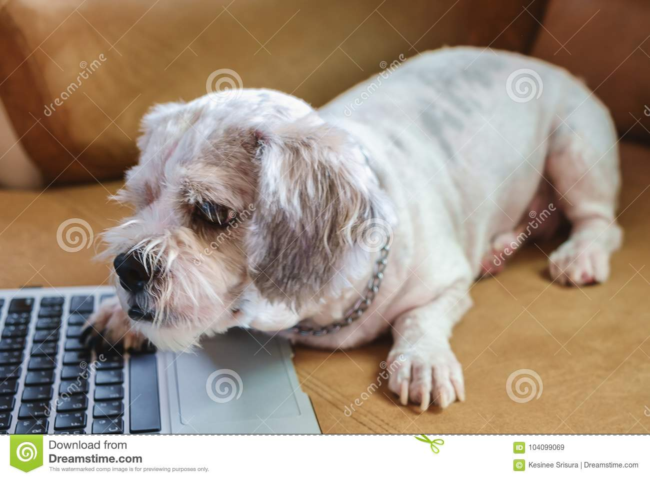 White Short Hair Shih Tzu Dog With Computer Laptop On Sofa Stock