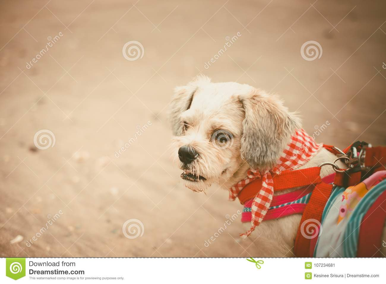 White Short Hair Shih Tzu Dog With Cutely Clothes On The Beach Stock
