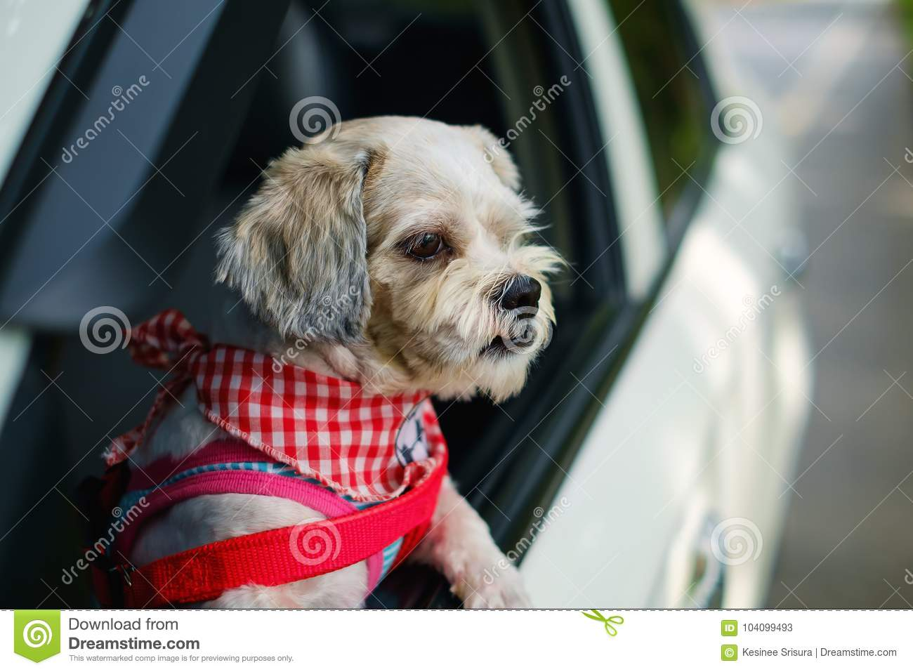 White Short Hair Shih Tzu Dog With Cutely Clothes Looking Out Of The