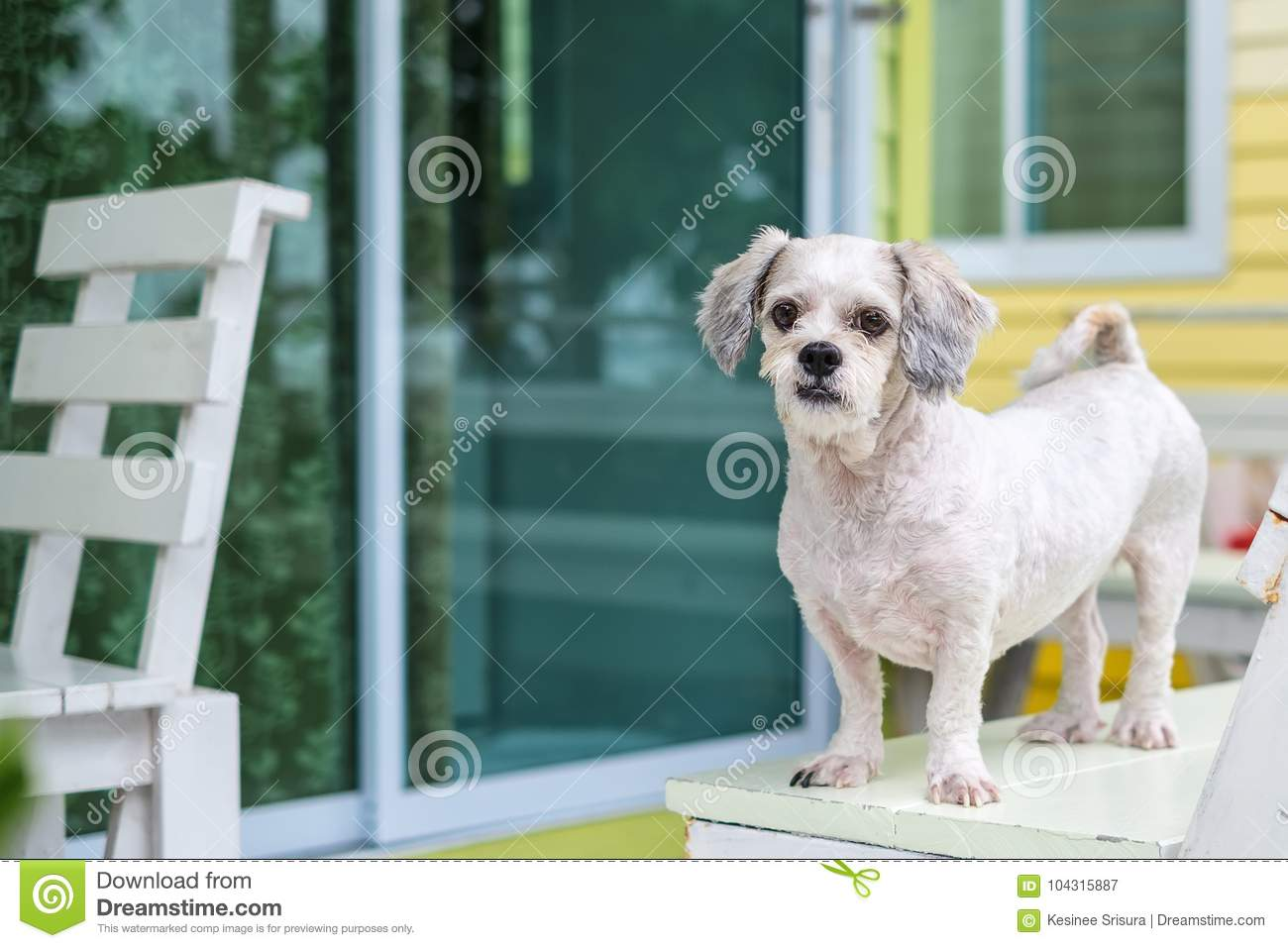 White Short Hair Shih Tzu Dog Standing On The Terrace Stock Image Image Of Outdoor Domestic 104315887