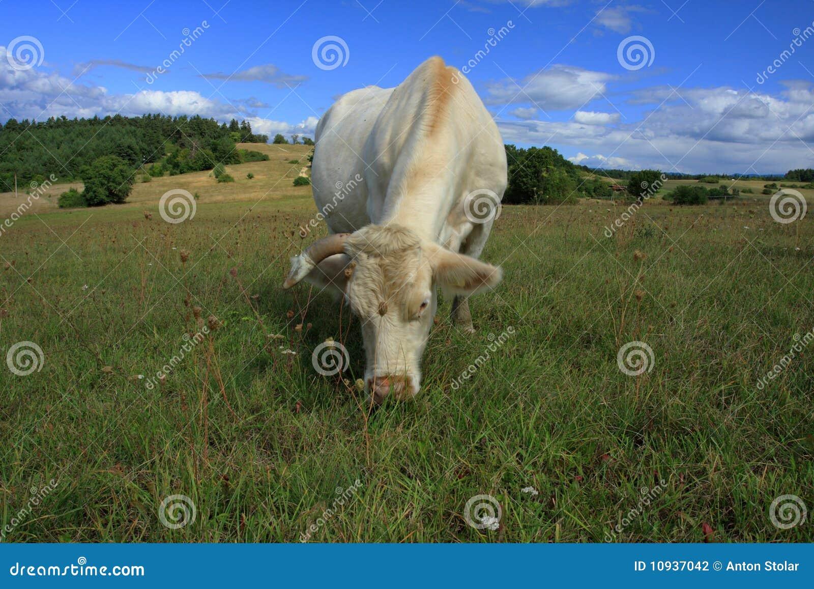 White Shorthorn Cattle