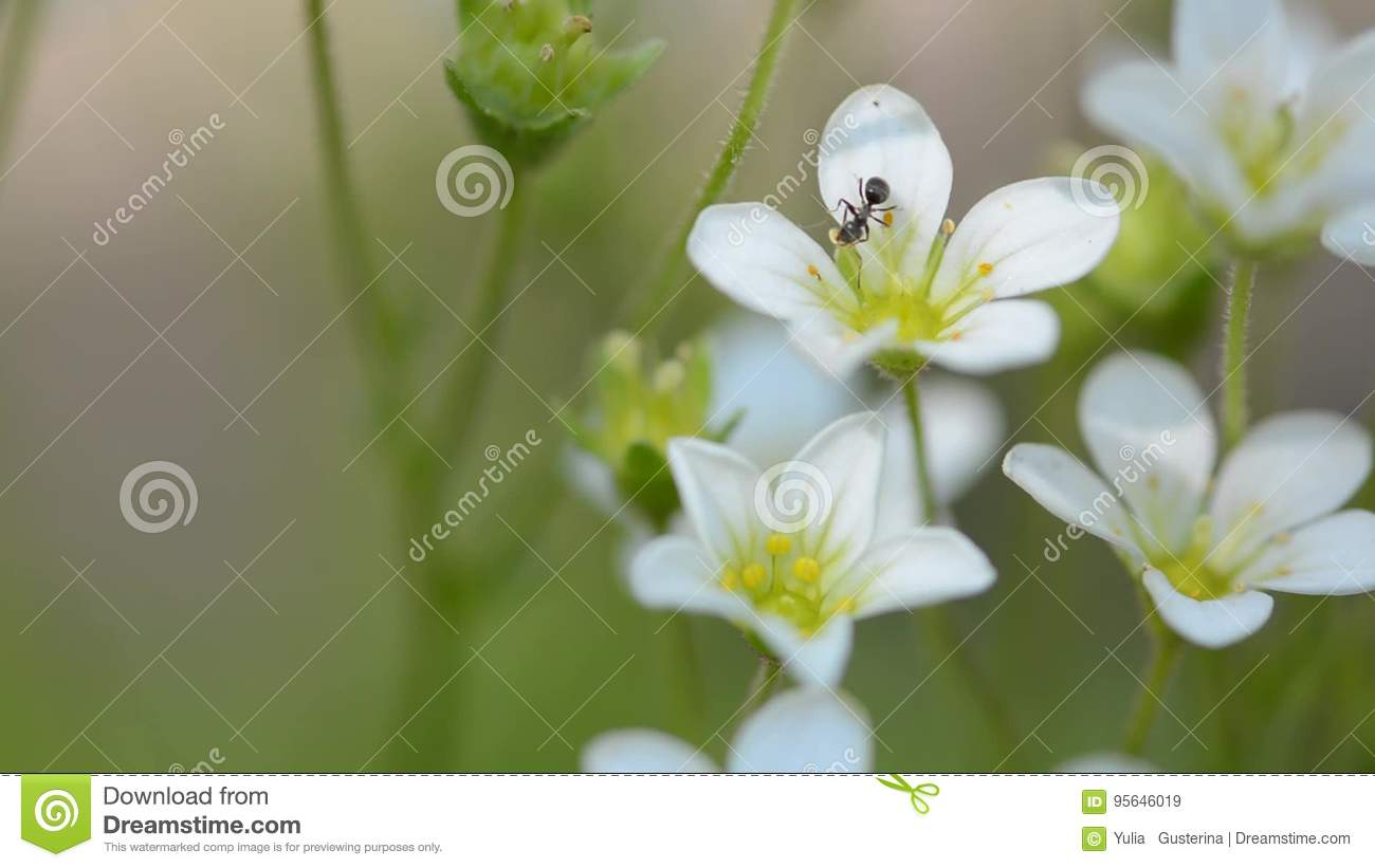White small flowers and ant macro of an ant spring flowers of white small flowers and ant macro of an ant spring flowers of saxifrage stock video video of insect centre 95646019 mightylinksfo