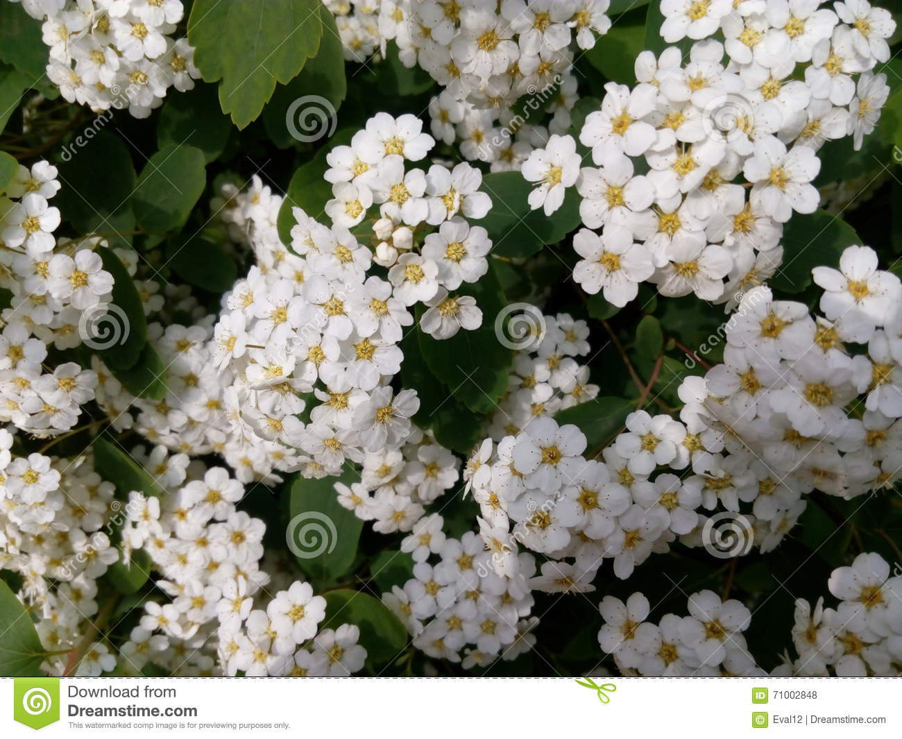 White small flowers on a green bush close up stock photo image of white small flowers on a green bush close up mightylinksfo