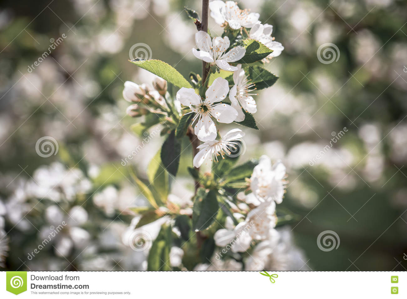 White Small Flowers On Tree Stock Image Image Of Graphic Ornate
