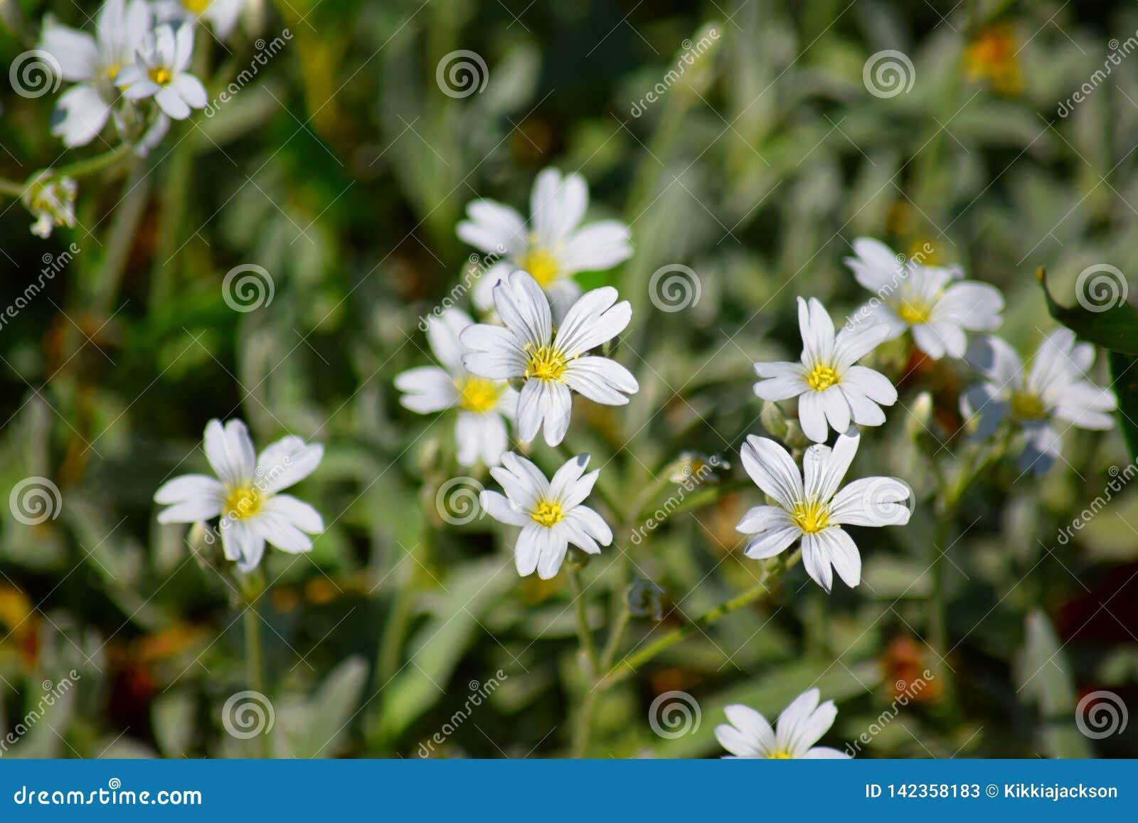 White Small Tiny Flowers Home Garden Plants Bacjground Stock Photo