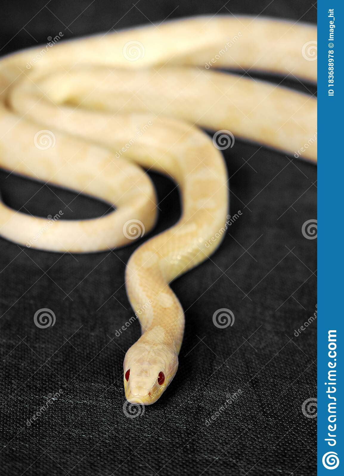 A White Snake With Red Eyes Gliding On The Floor Stock Photo Image Of Animals Poisonous 183688978