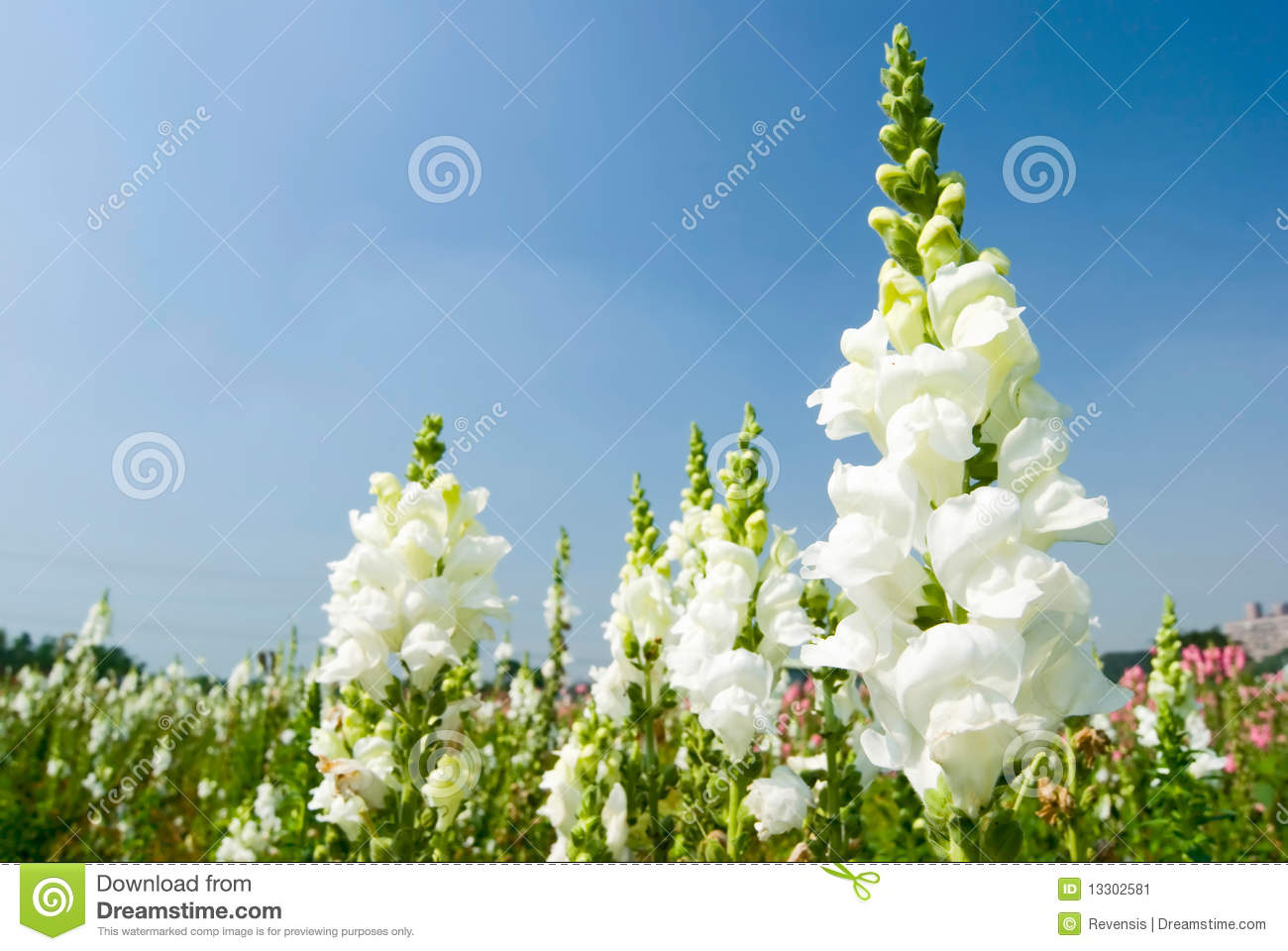 White Snapdragon Flowers Under Blue Sky Stock Image Image Of Flora