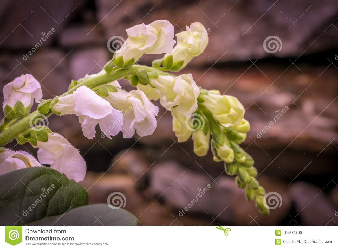 White Snapdragon And Rock Wall Behind Stock Photo Image Of Flowers