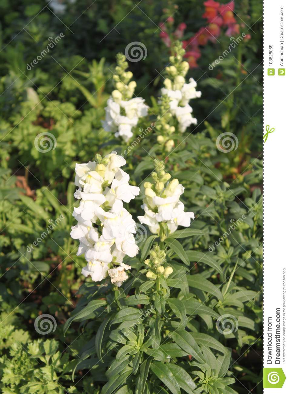 White snapdragons flowers stock image image of blooming 108828069 download white snapdragons flowers stock image image of blooming 108828069 mightylinksfo