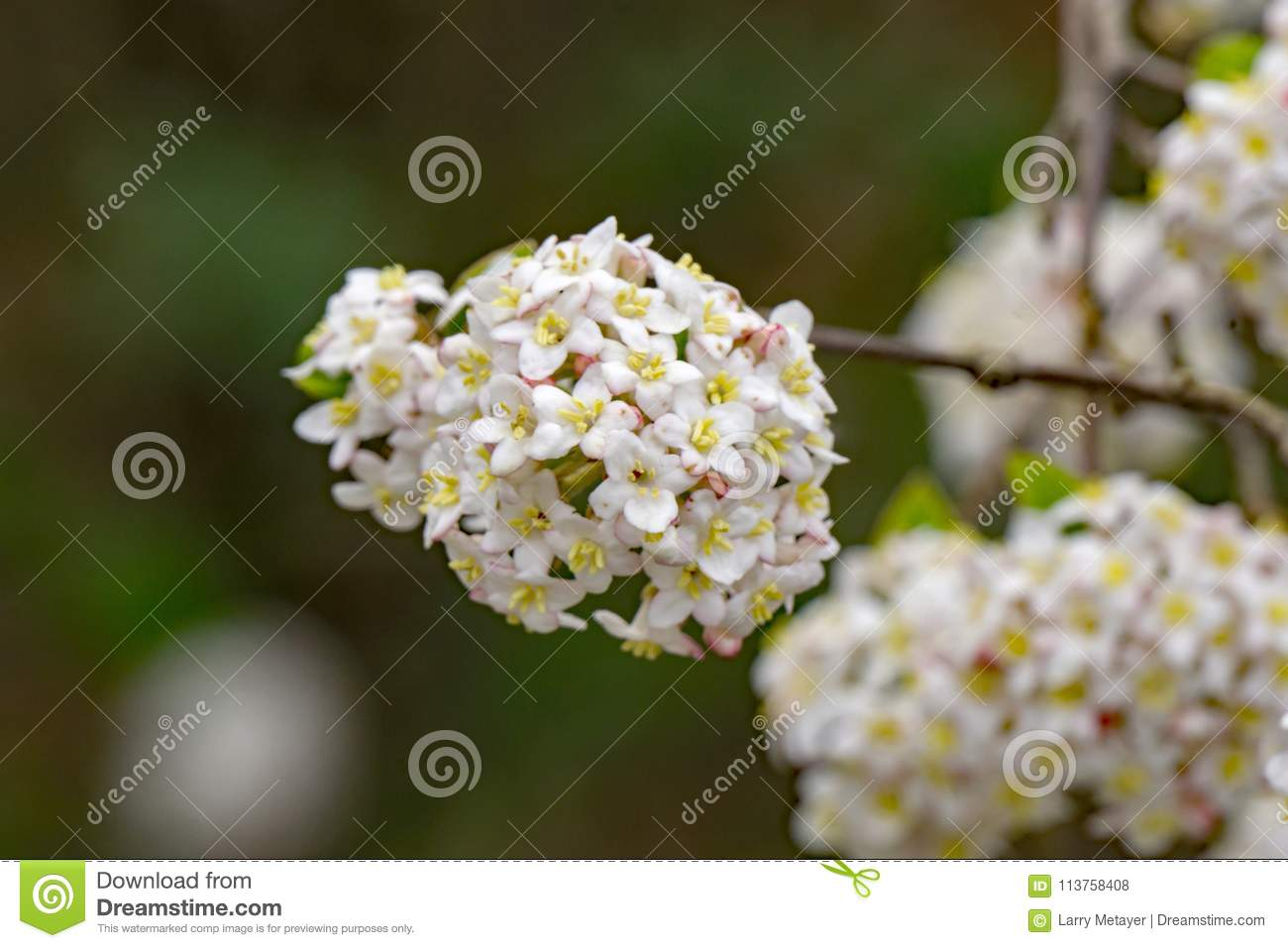 White Snowball Flowers Viburnum Carlesii Stock Photo Image Of