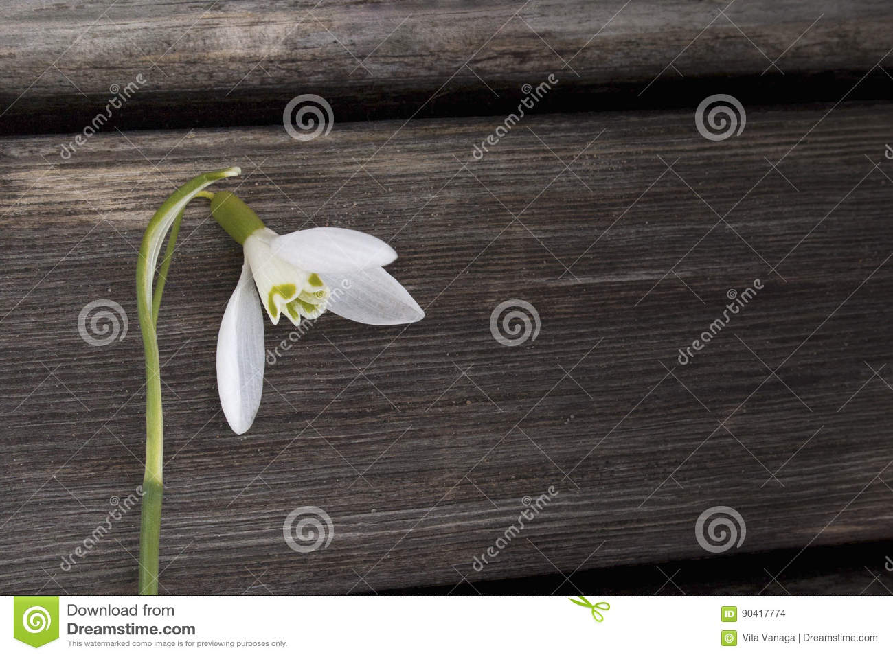 White snowbell closeup on wooden grey background, empty space, clear simplicity spring mood