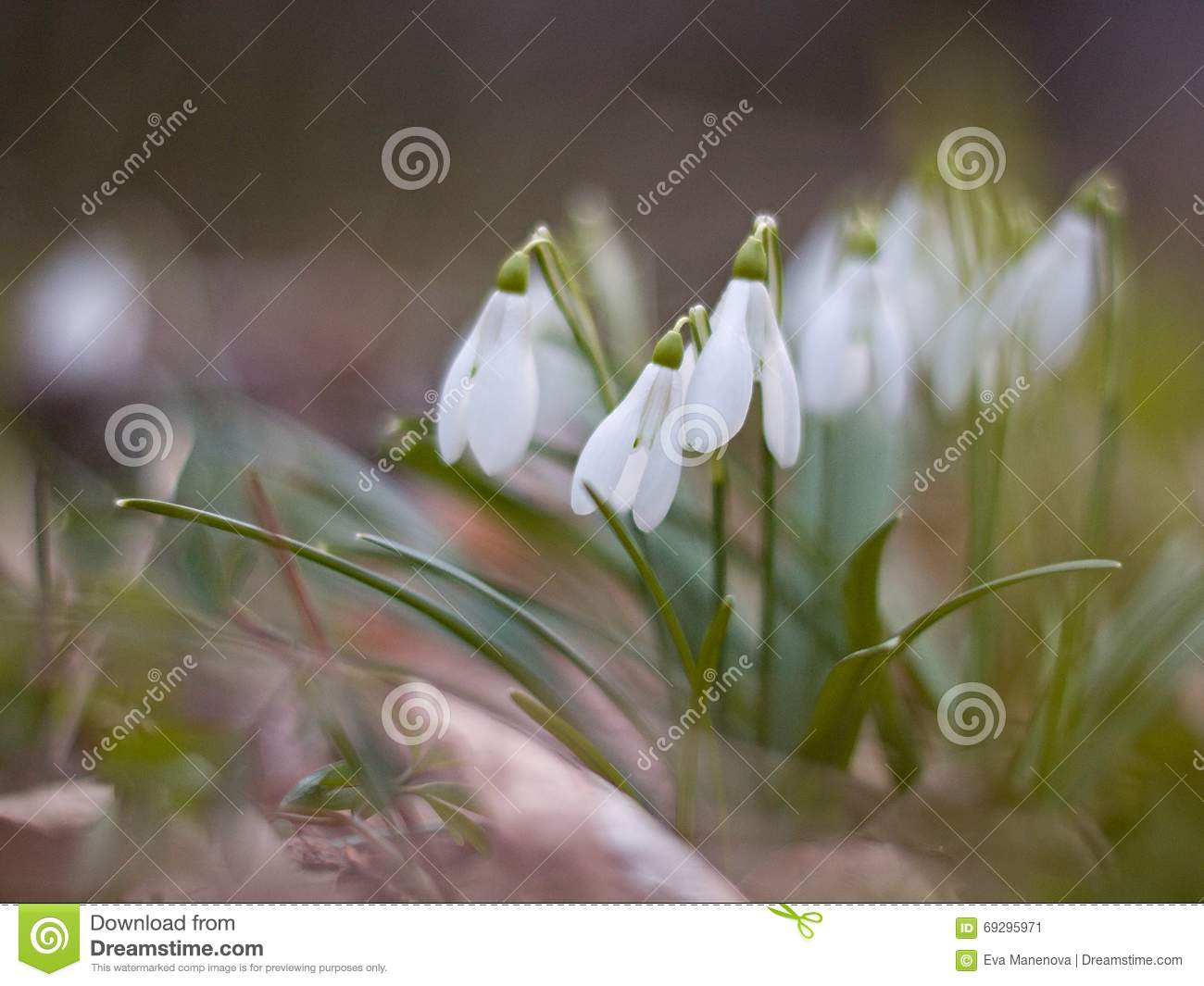 White snowdrops blooming on the hillside