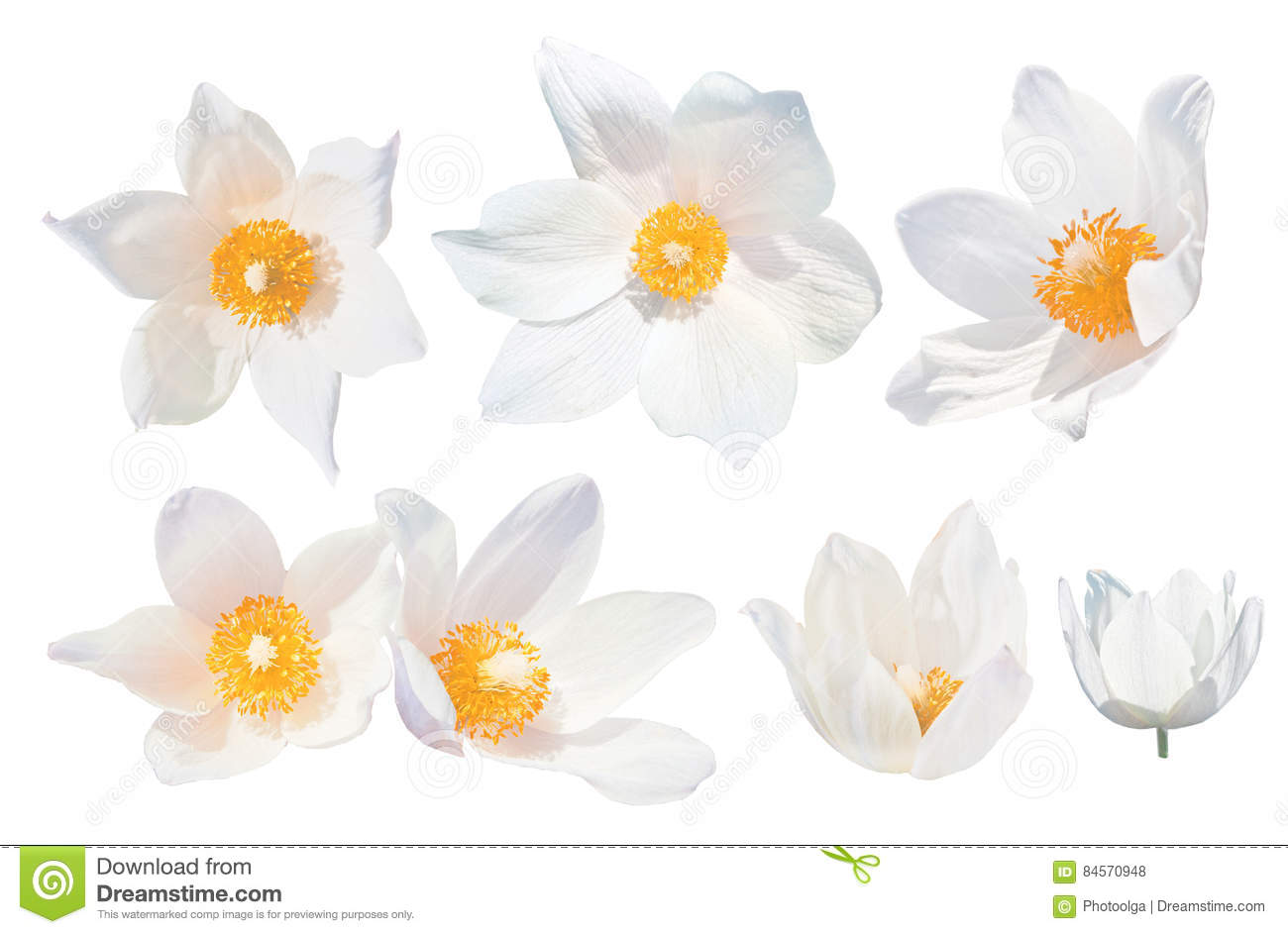 White snowdrops pulsatilla patens isolated on white background set white snowdrops pulsatilla patens isolated on white background set of white snowdrops the spring mightylinksfo