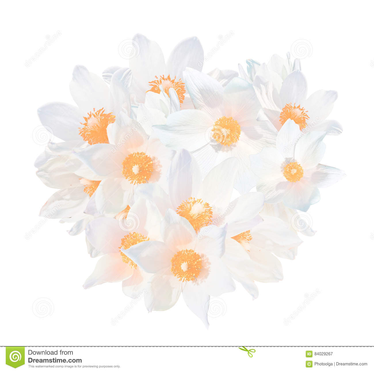 White Snowdrops Pulsatilla Patens Isolated On White Background The