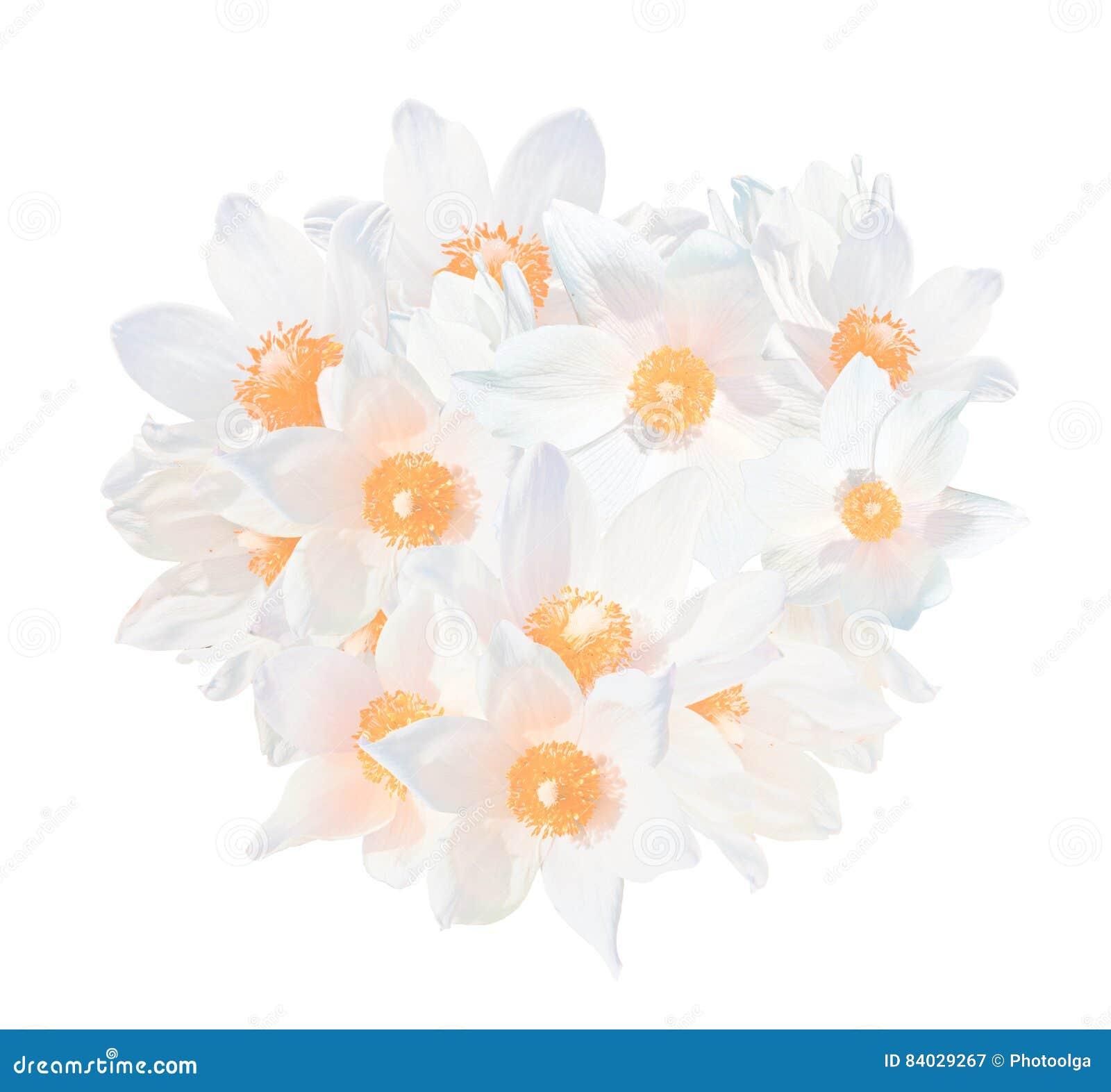 White snowdrops pulsatilla patens isolated on white background the white snowdrops pulsatilla patens isolated on white background the spring flowers grow in western siberia mightylinksfo