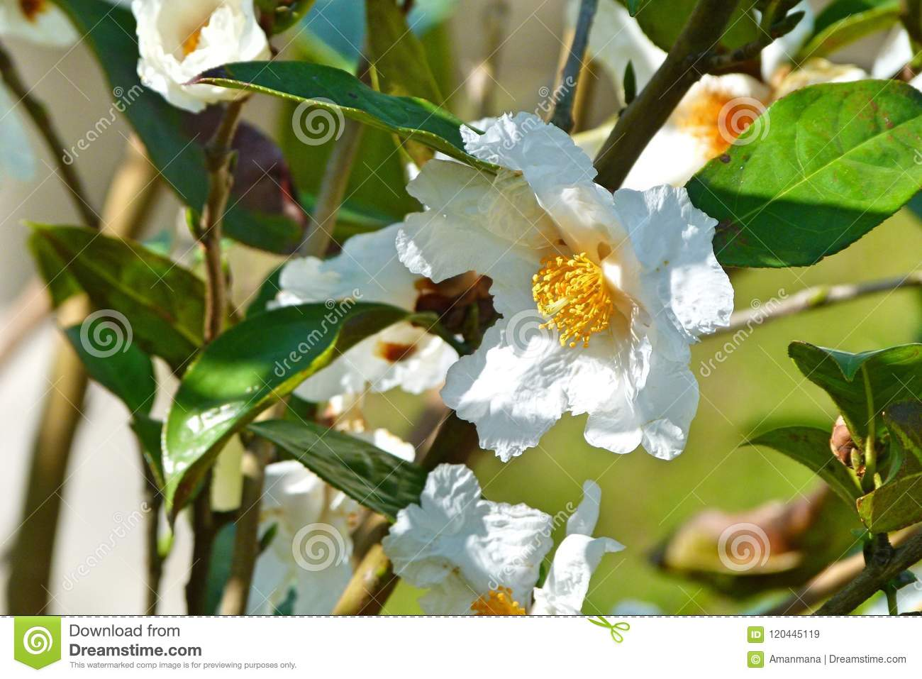 Smooth And White Wild Plum Flower Stock Image Image Of Tree