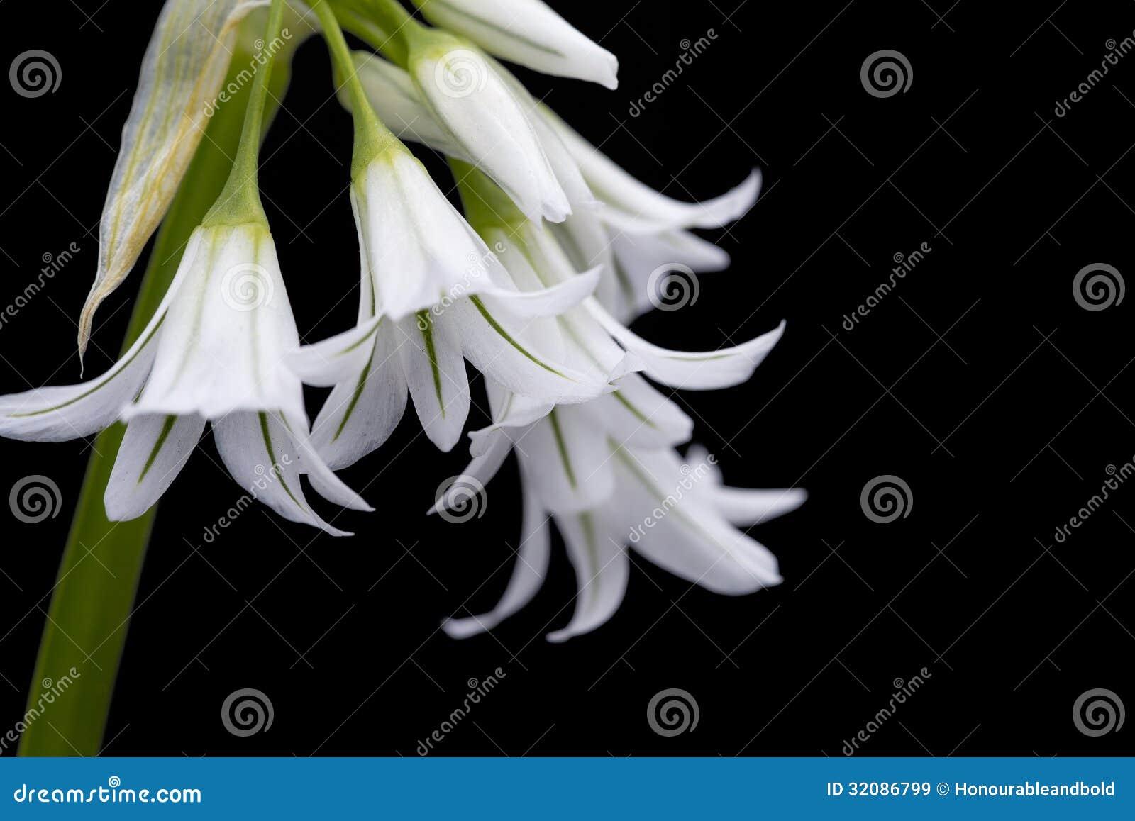 White Spanish Bluebell Hyacintoides Hispanica Stock Image Image Of