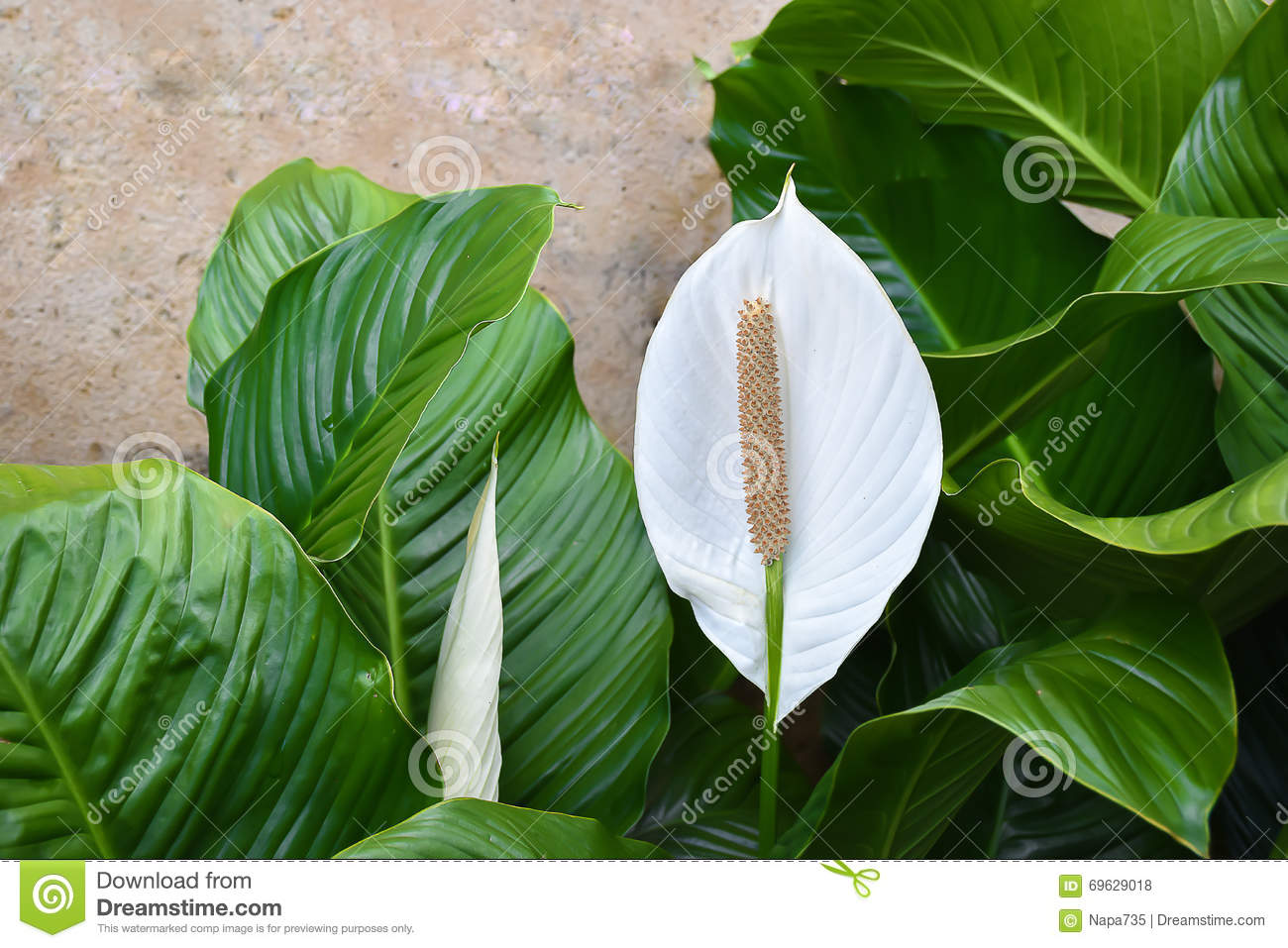 White spathiphyllum peace lily stock photo image of houseplant white spathiphyllum peace lily izmirmasajfo