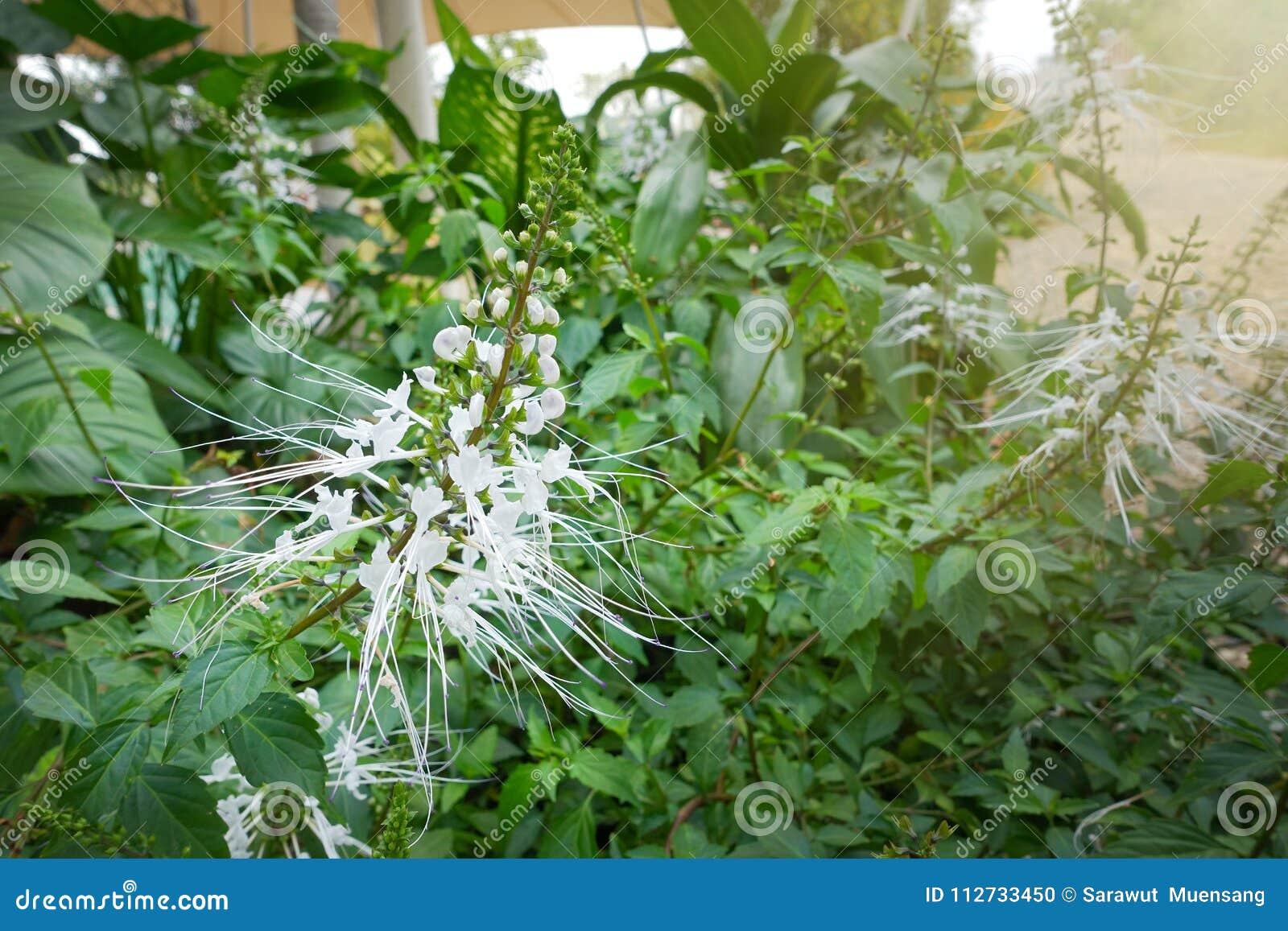 White Spider Flower In Botanical Garden Stock Photo Image Of Human