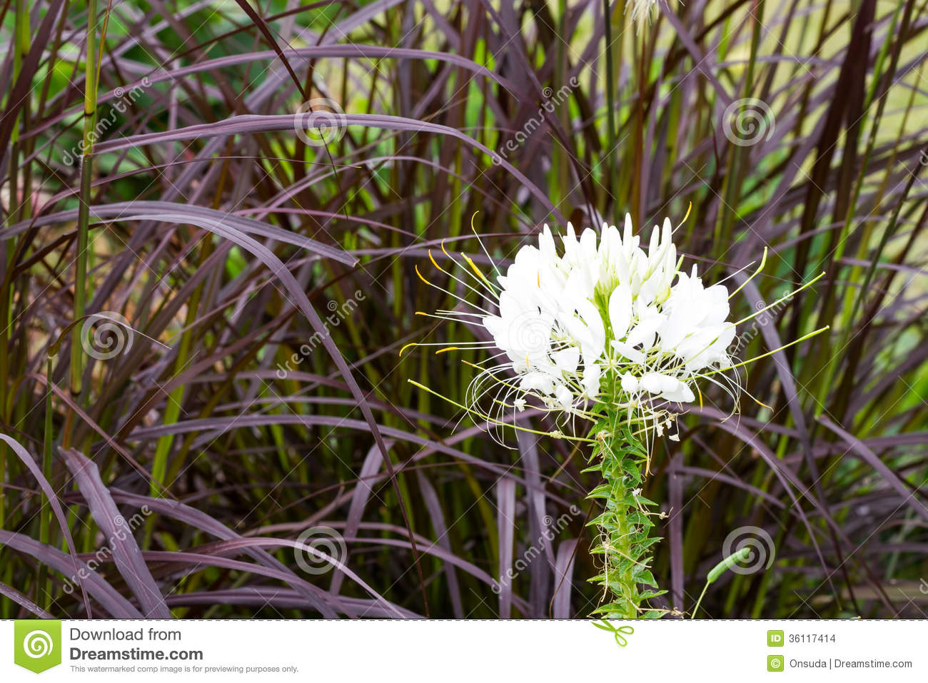 White spider flower stock photo image of field background 36117414 white spider flower mightylinksfo