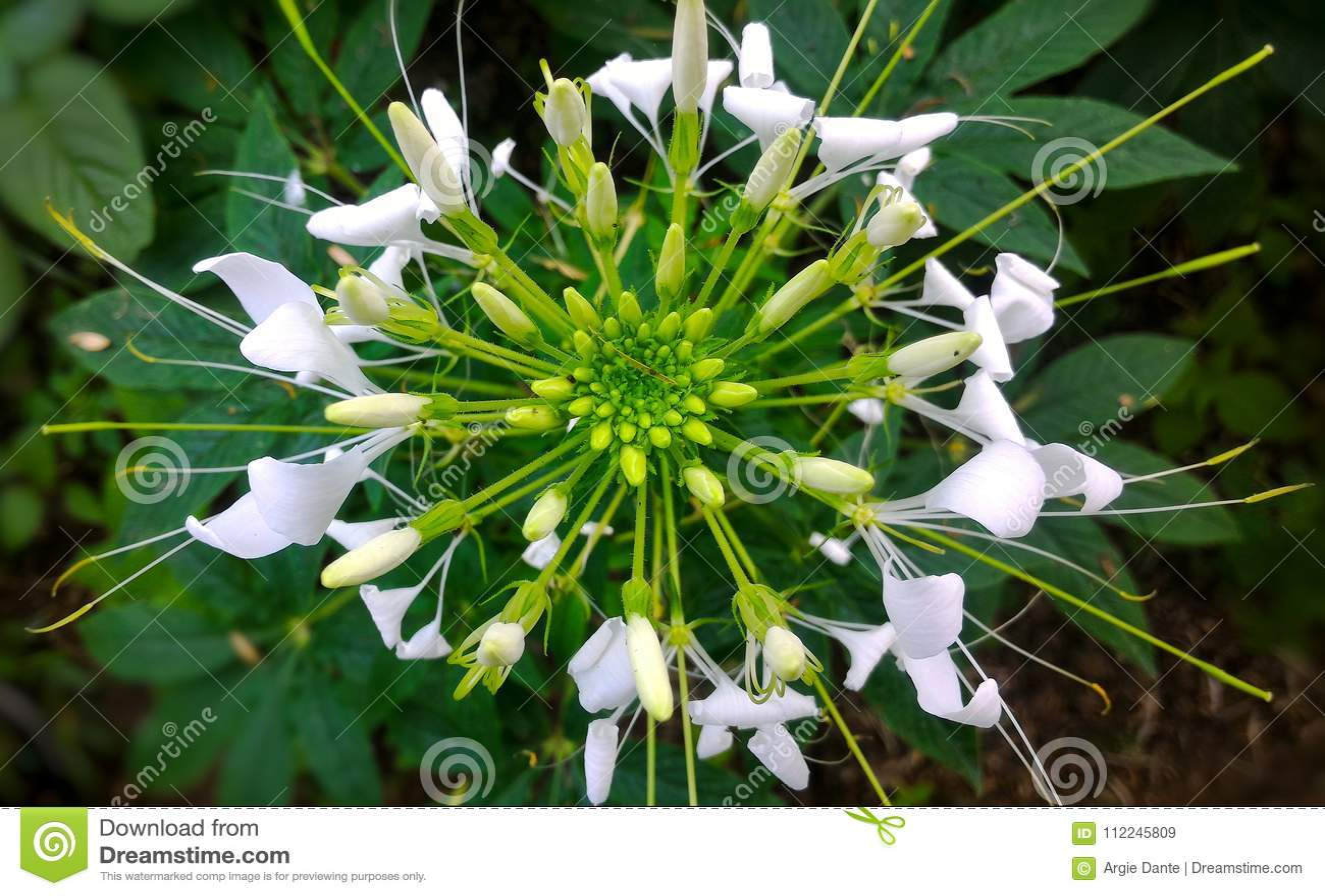 White Spider Flower Stock Image Image Of Garden Symmetrical