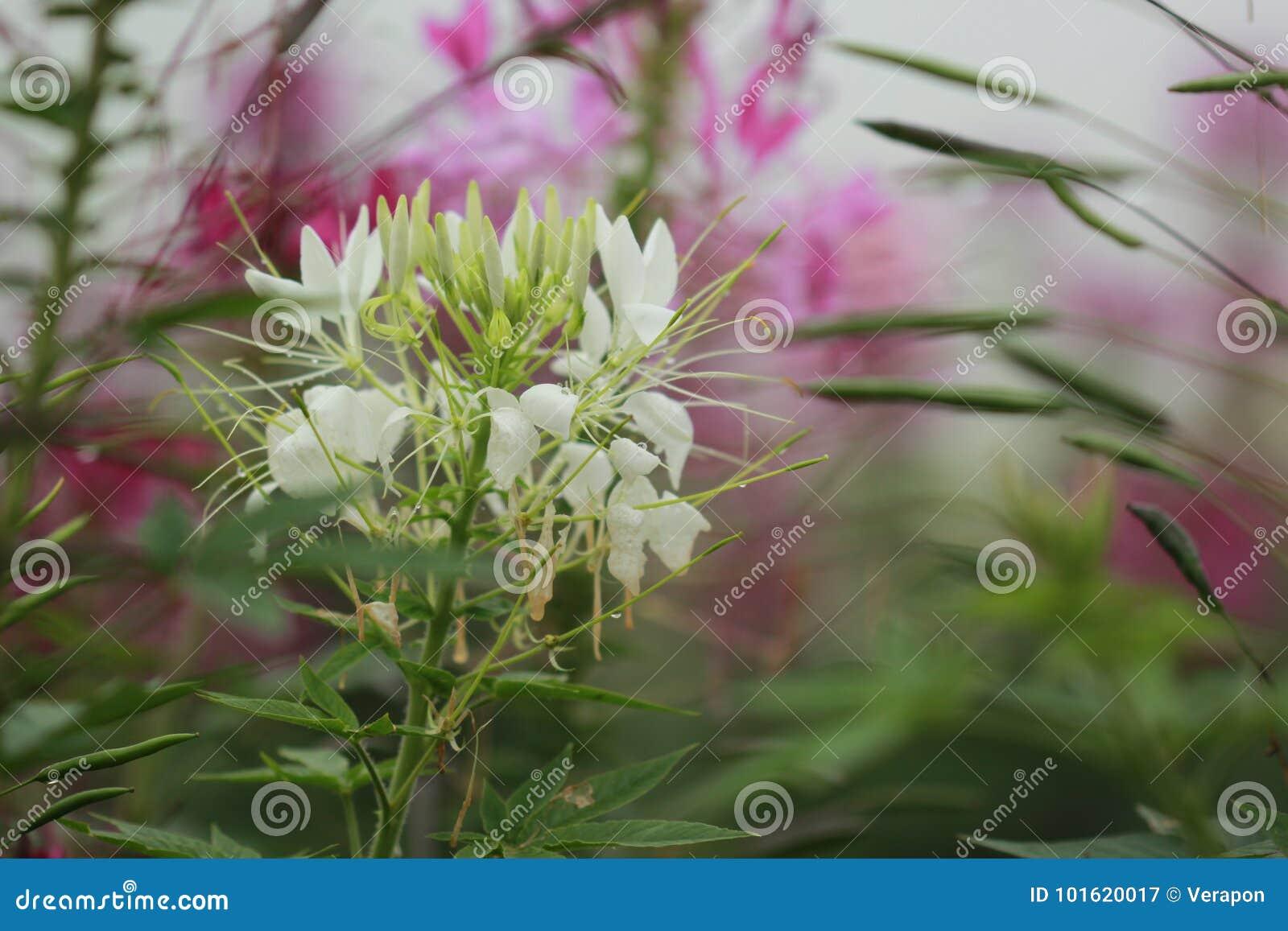 White Spider Flower Stock Image Image Of Spring Cleome 101620017