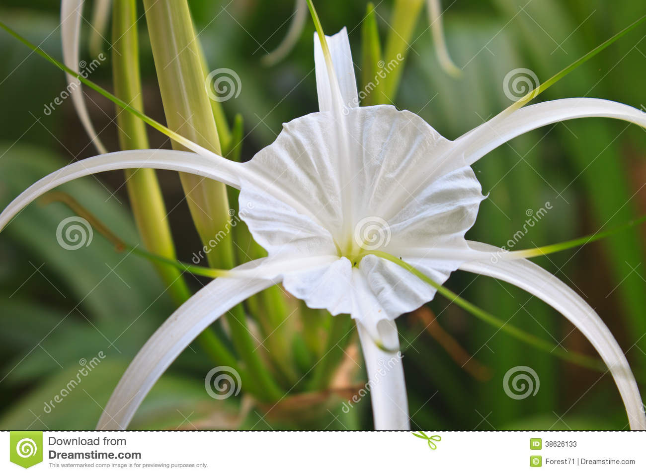 White spider lily flower stock image image of green 38626133 download comp mightylinksfo
