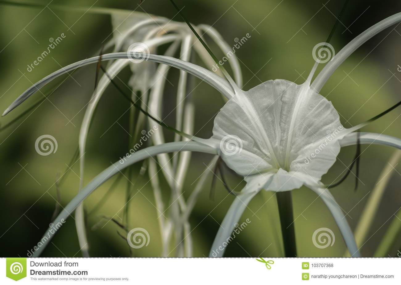 White spider lily on green background wallpaper blossom botany close up decoration
