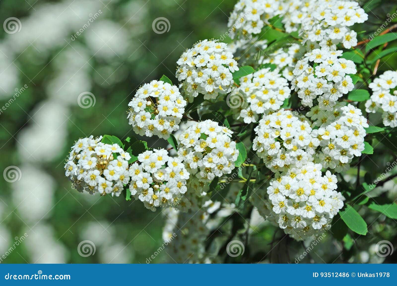 White Spiraea Flower Stock Photo Image Of Garden Blossom 93512486