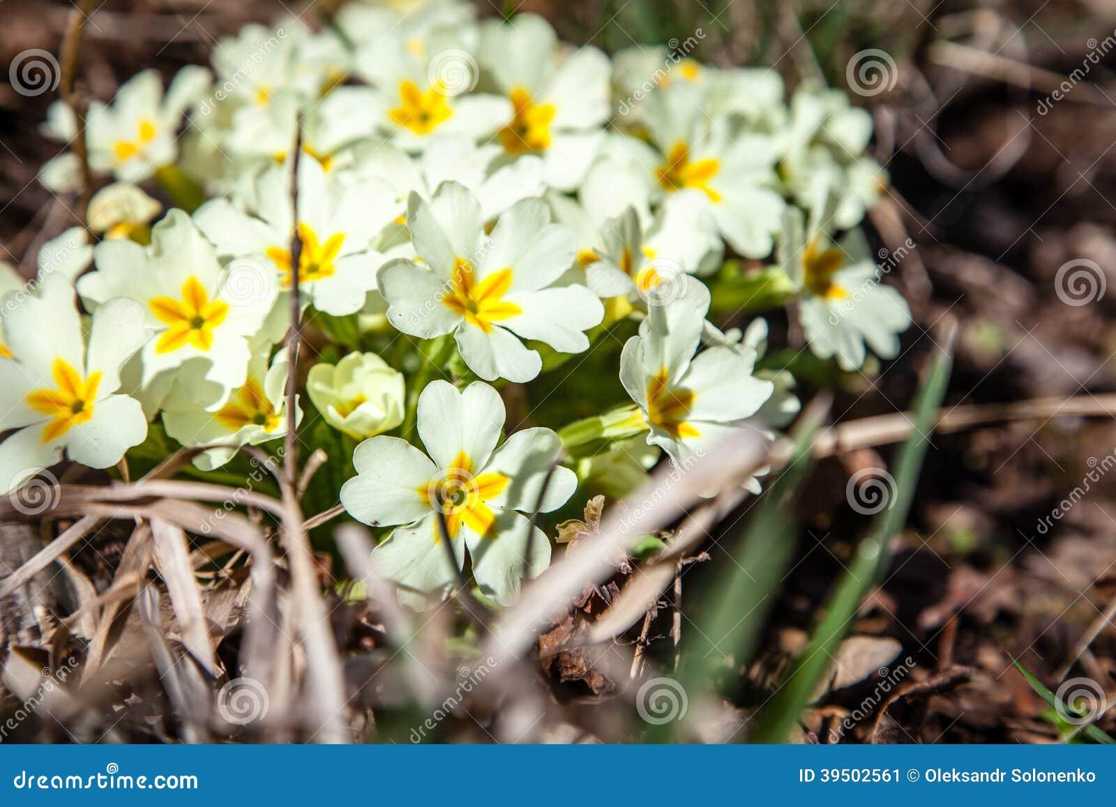 White Spiraea (Meadowsweet) flowers early spring