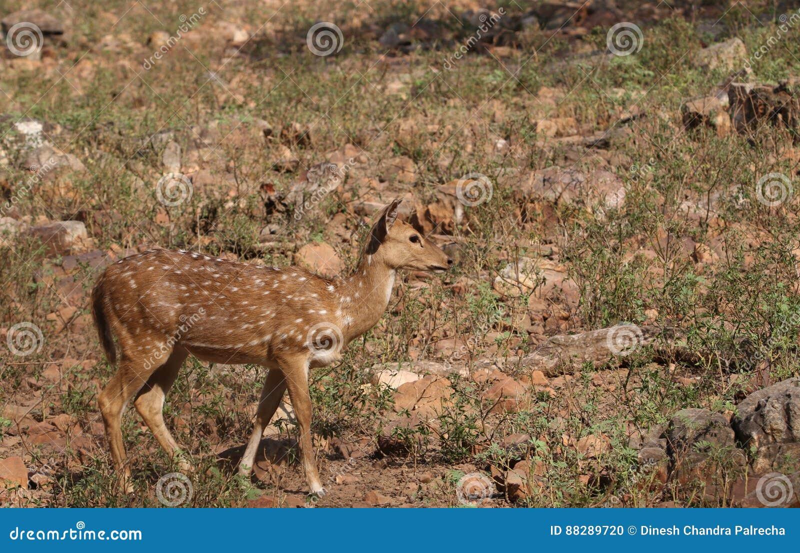 White spot deer