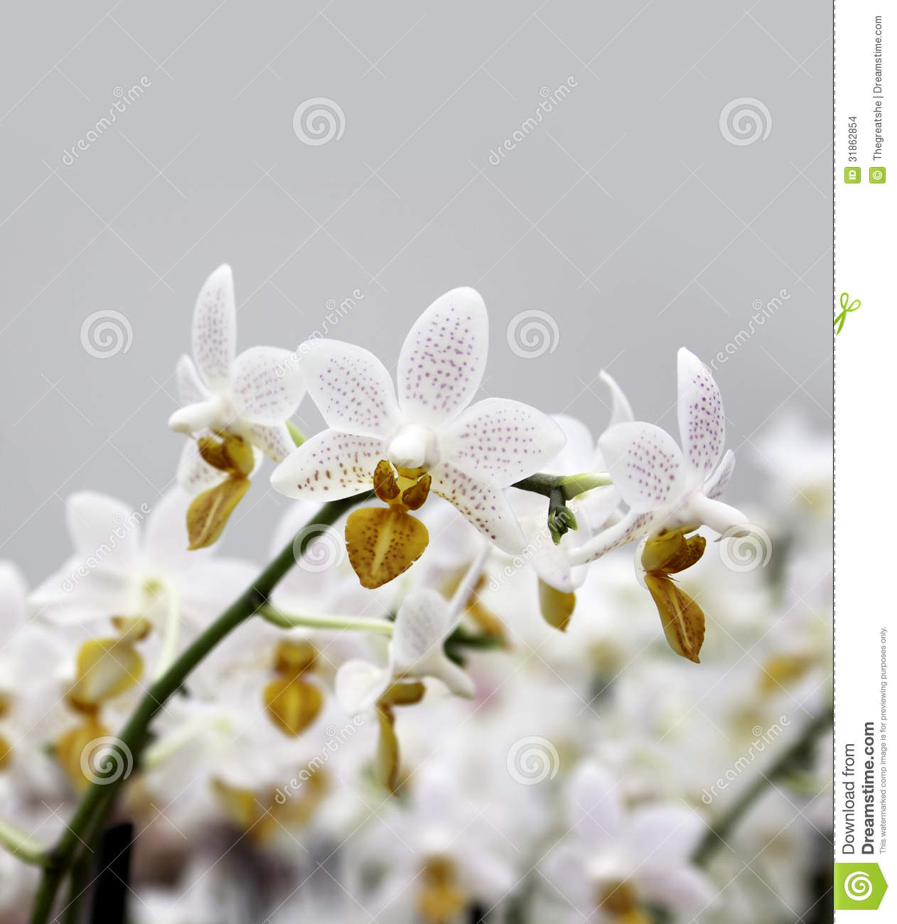 white spotted orchid flower - photo #11