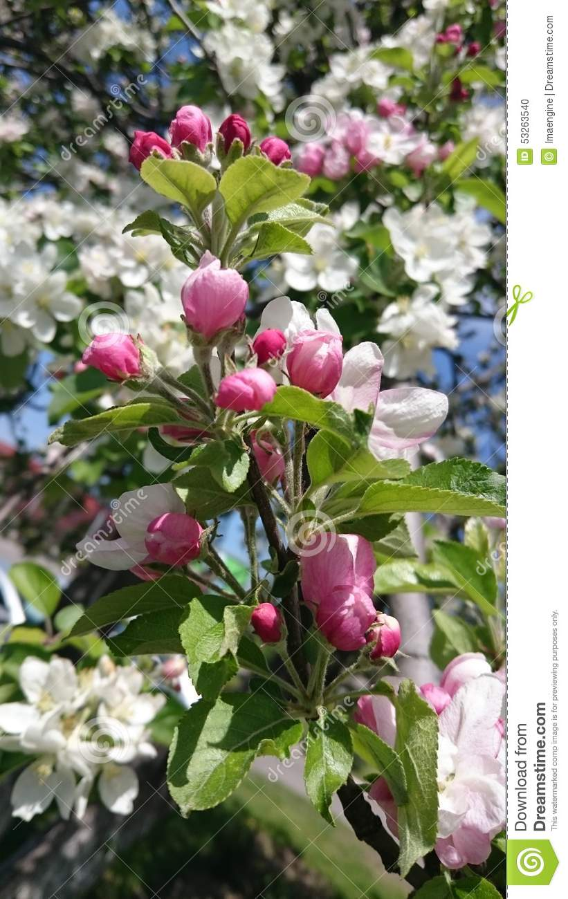 White spring blooming tree flowers and pink buds stock photo image white spring blooming tree flowers and pink buds mightylinksfo