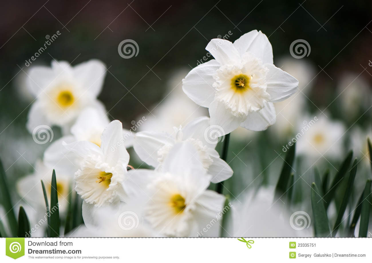 White Spring Flower Narcissus Stock Image Image Of Selective