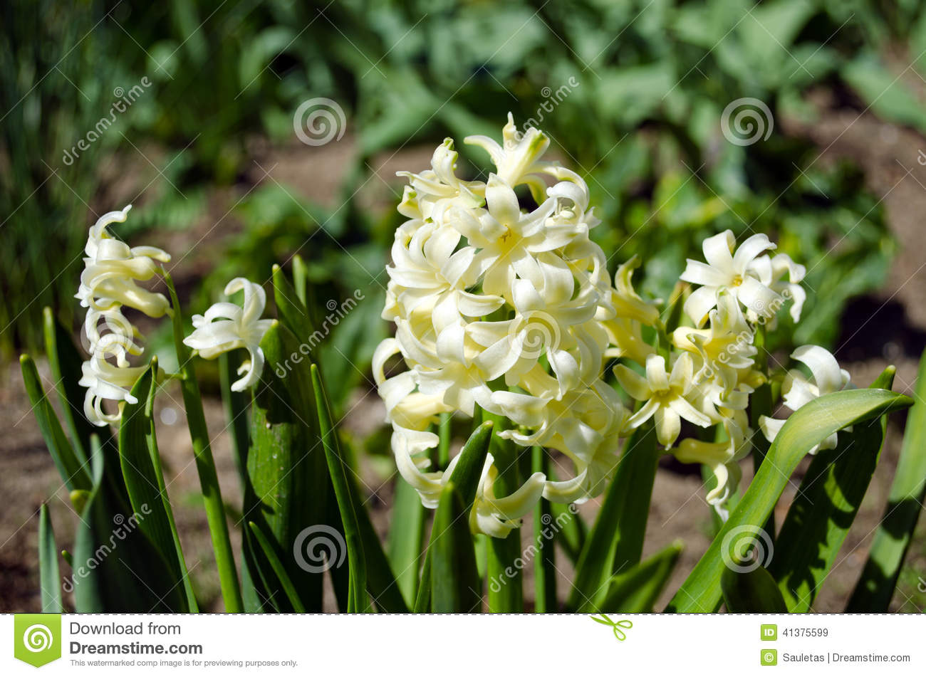 White Spring Flowers Hyacinths In Garden Stock Image Image Of