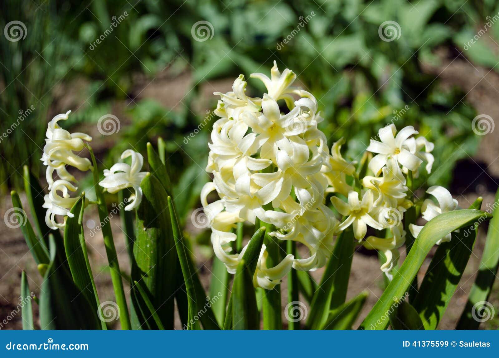 White spring flowers hyacinths in garden stock image image of white spring flowers hyacinths in garden mightylinksfo