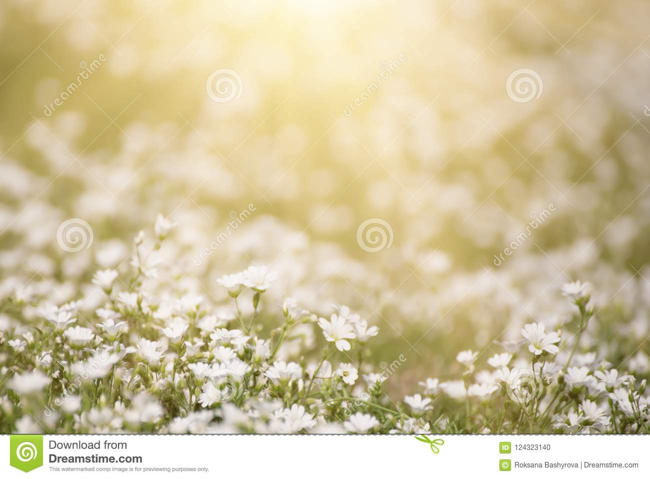 White Spring Flowers Stock Photo Image Of Beauty Ground 124323140