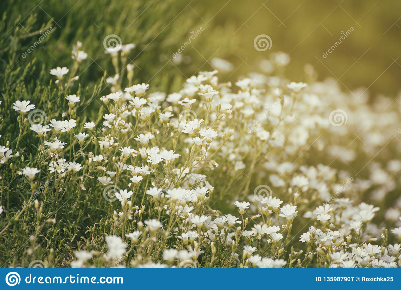 White Spring Flowers Stock Image Image Of Growth Meadow 135987907
