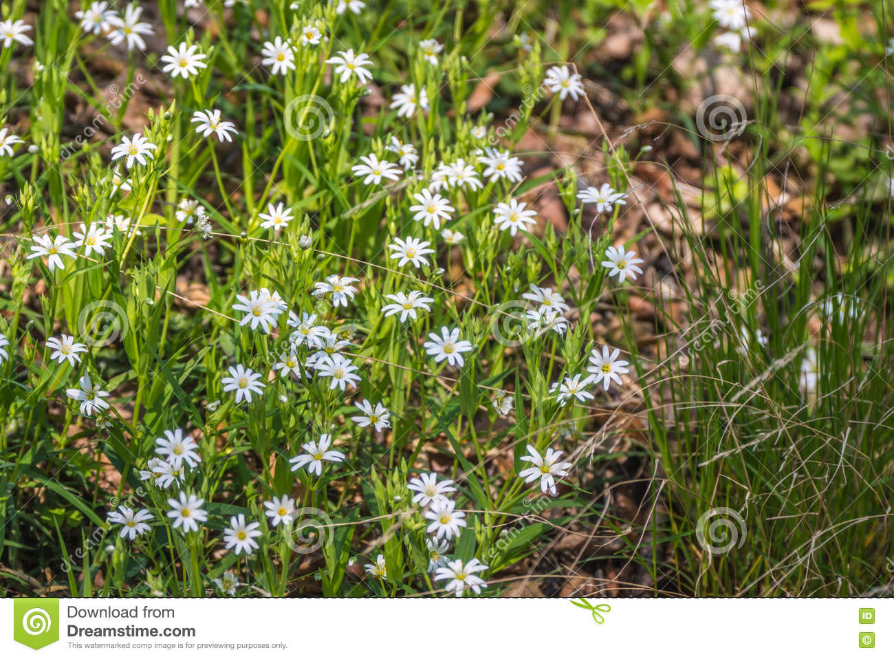 White Spring Flowers Of Wood Anemone In A Forest Stock Photo Image