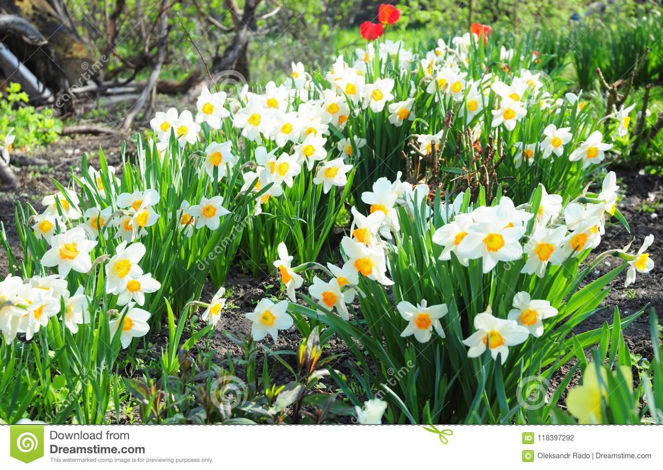 White spring garden narcissus flowers with red tulips flower bed white spring garden narcissus flowers with red tulips flower bed mightylinksfo