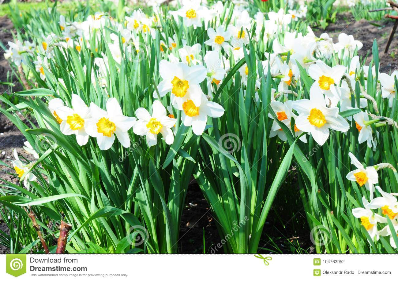 White Spring Narcissus Flowers Narcissus Flower Also Known As