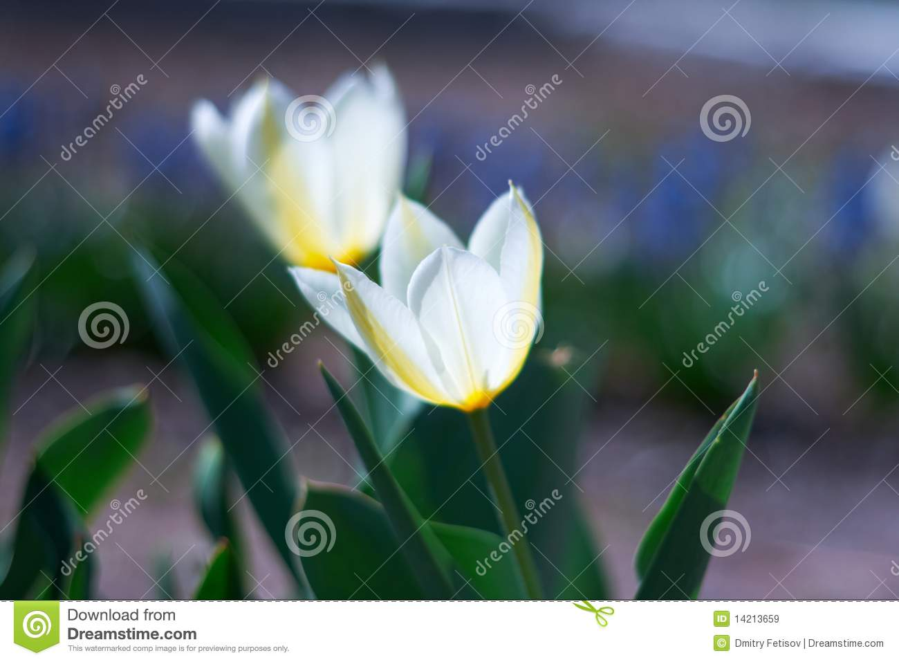 White spring a young tulip