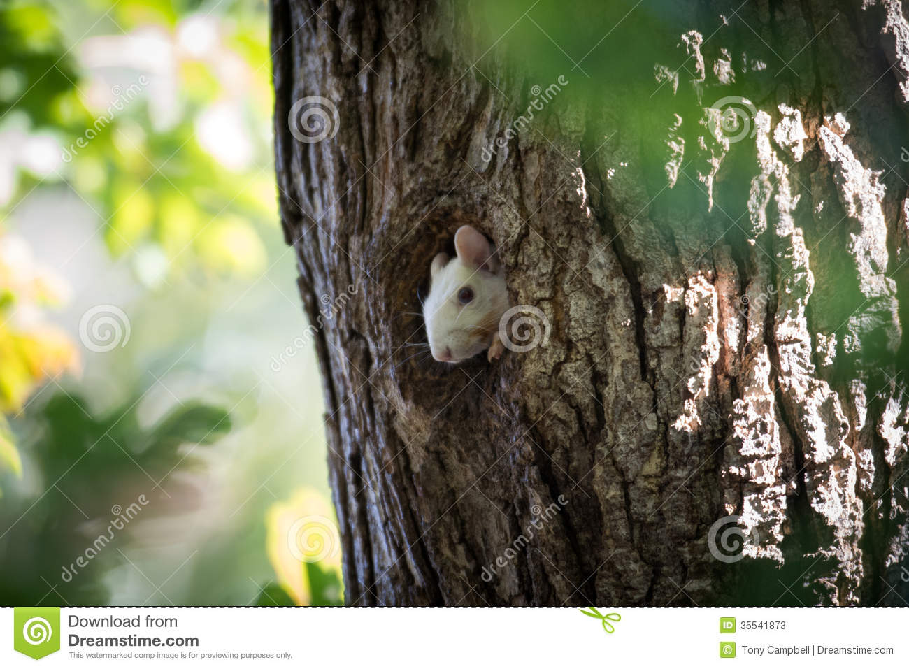 White Squirrel peeking out of hole