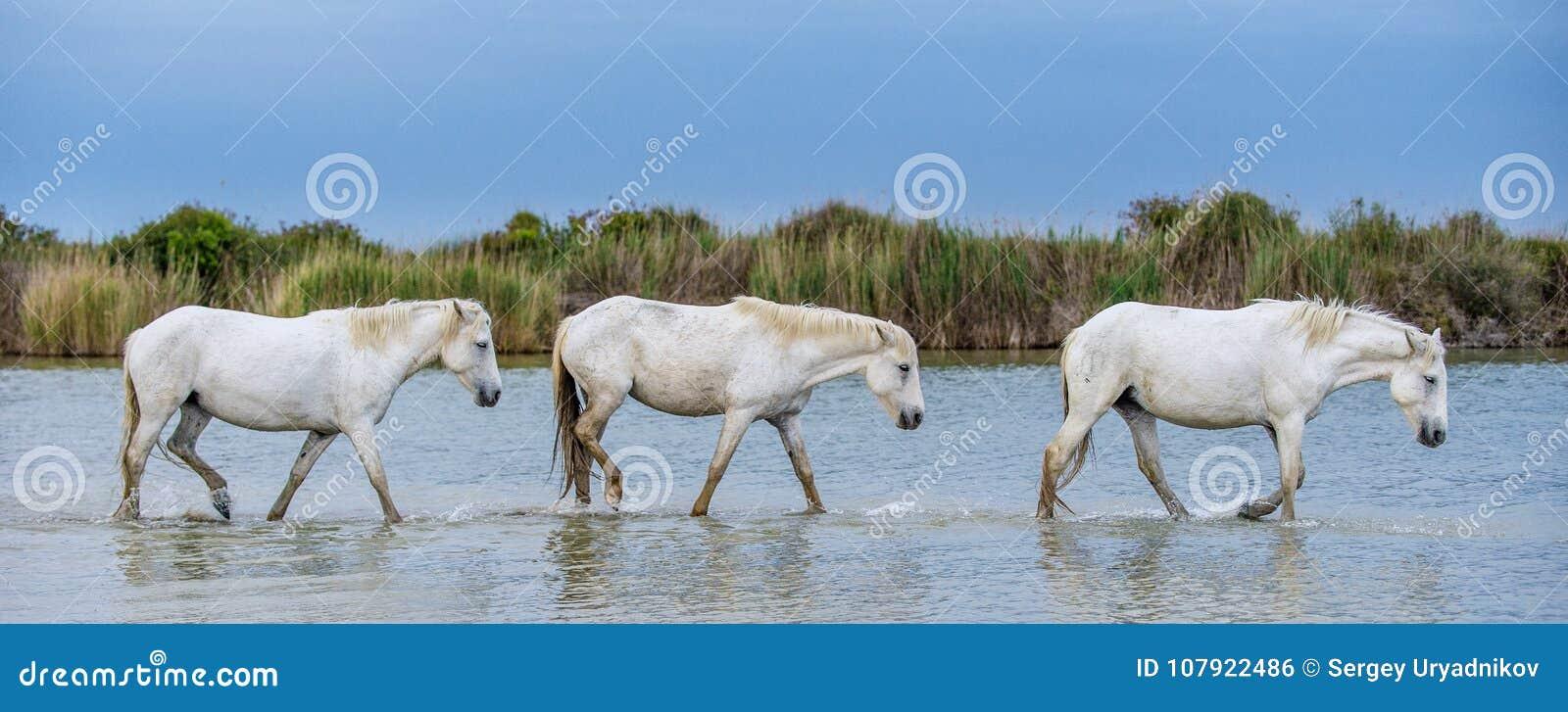 852 White Stallions Photos Free Royalty Free Stock Photos From Dreamstime