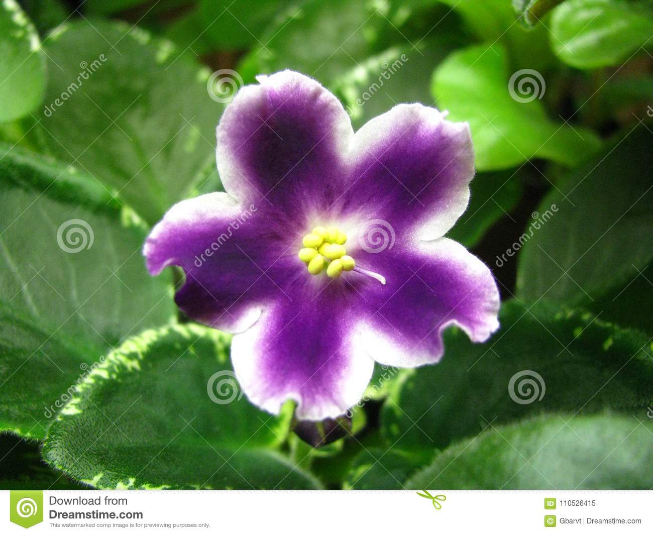 White Star Flower With Wavy Edges And Purple Rays From The Center On ...