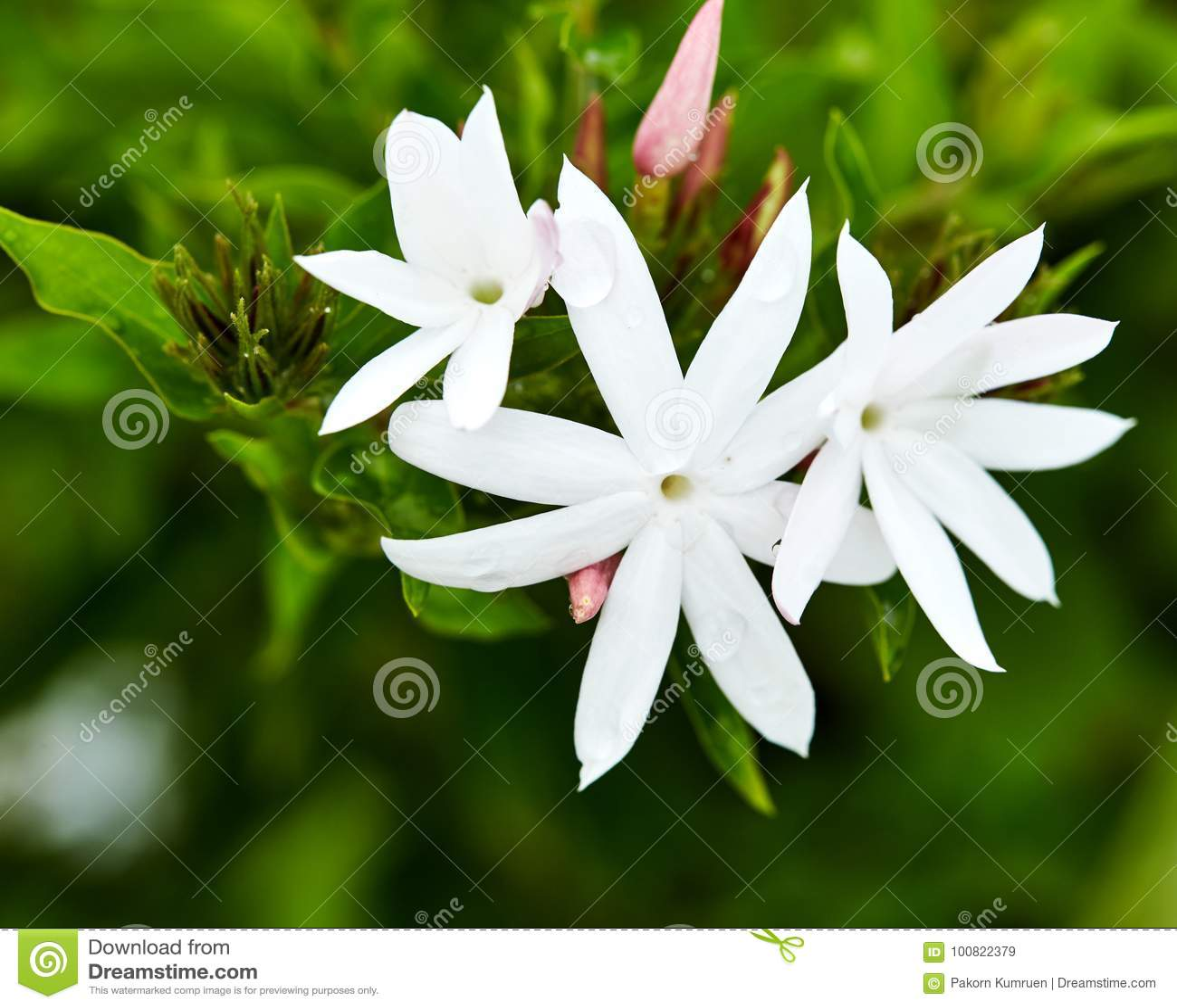White Star Jasmine In The Garden Stock Image Image Of Close Star
