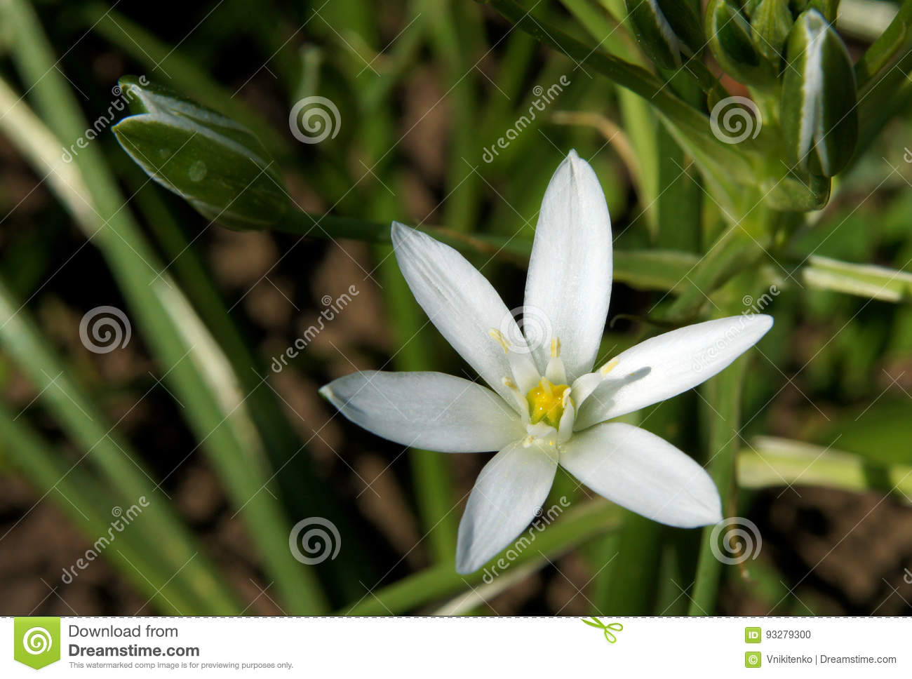 White star shaped flowers stock photo image of nature 93279300 download white star shaped flowers stock photo image of nature 93279300 mightylinksfo